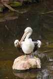 Pelican stand on rock Royalty Free Stock Photo
