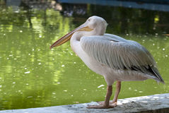 Pelican - RAW format Royalty Free Stock Photo
