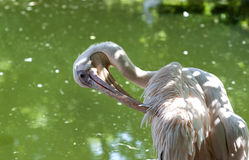 Pelican - RAW format Stock Image