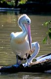 Pelican Standing on Branch Stock Images