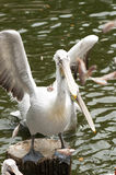 Pelican. A pelican is standing and flapping its wings Stock Photo