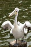 Pelican. A pelican is standing and flapping its wings Stock Images