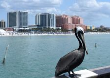 Pelican standing in front of tall buildings in Clearwater royalty free stock photo