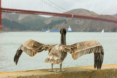 Pelican standing with Golden Gate bridge in background. Royalty Free Stock Photography