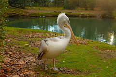 Pelican standing by the lake. Royalty Free Stock Photo