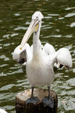 Pelican. A pelican is standing on a log in a pond Stock Photography
