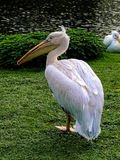 Pelican standing in the park. Close to the lake royalty free stock images