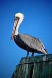A pelican standing on a pier in California. A pelican standing on a pier, surrounded by brilliant blue sky Royalty Free Stock Photo