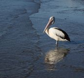 Pelican standing in ripples. Pelican stands on shore as ripples come in Royalty Free Stock Photos