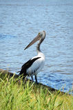 A pelican standing by the river in Australia Stock Photo
