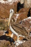 Pelican Standing in Rocks Royalty Free Stock Photography