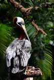 Pelican Standing on a Tree Branch Royalty Free Stock Image