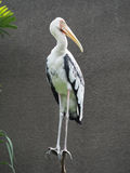Pelican. A Pelican standing on the tree trunk Royalty Free Stock Image