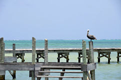 Pelican Standing Watch Stock Photo