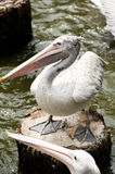 Pelican. A pelican is standing on a wood log Royalty Free Stock Images