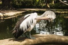 A pelican stands near a reservoir and scratches it`s wing by a b. A pelican stands near a lake with it`s head turned down and it`s beak under a wing. A pelican Royalty Free Stock Photography