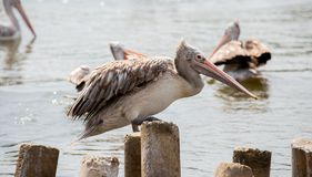 The pelican stands on the timber royalty free stock photo