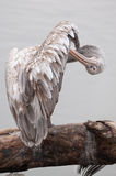 Pelican stands on a tree-trunk Royalty Free Stock Photos