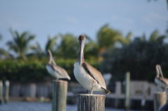 Pelican Stare Royalty Free Stock Photo