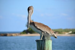 Pelican Stare Royalty Free Stock Photography