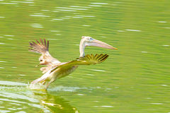 The Pelican start to fly. And run on the pond Stock Photography