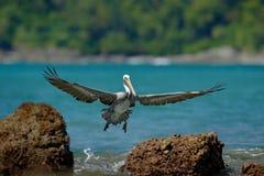 Pelican starting from the blue ocean, splashing the water in nature habitat, Costa Rica. Wildlife scene from ocean. Brown bird in stock photo