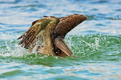 Pelican starting in the blue water. Brown Pelican splashing in water. bird in the dark water, nature habitat, Florida, USA. stock images