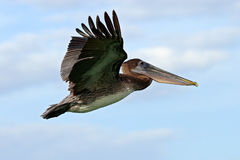 Pelican starting in the blue water. Brown Pelican splashing in water. bird in the dark water, nature habitat, Florida, USA. Wildli royalty free stock photo