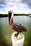 Pelican Statue. A pelican Statue on sitting on a post in the Florida Keys - Marathon Royalty Free Stock Image