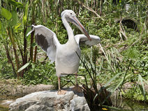 Pelican on stone in  grass. Stock Photo