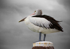 Pelican and Storm Clouds Royalty Free Stock Photography