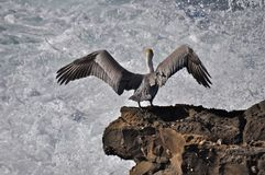 Pelican Stretch Royalty Free Stock Images