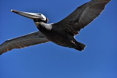 Pelican in Stretched Flight Royalty Free Stock Photos