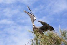 The Pelican Stock Photos