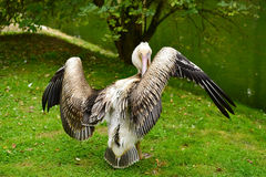 Pelican stretching wings Royalty Free Stock Images