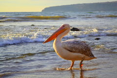 Pelican strolling on shore Stock Photography