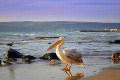 Pelican strolling on shore Royalty Free Stock Images
