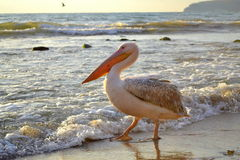 Pelican strolling on shore Stock Images