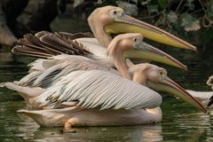 Pelicans in the pair of three royalty free stock photo