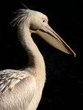 Pelican in the sun. A pelican in bright sunlight on dark background Royalty Free Stock Images