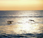 Pelican sunrise. Two pelicans fly near the sea as the sun rises higher into the sky royalty free stock image