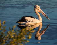 Pelican at Sunrise Royalty Free Stock Photo