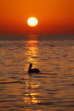Pelican at sunrise, Florida Keys, Vertical Royalty Free Stock Photography