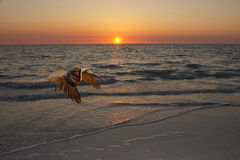 Pelican at Sunset. Brown pelican flying at sunset Stock Images