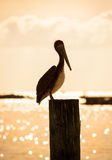 Pelican at sunset Royalty Free Stock Image