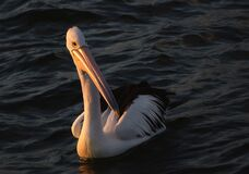 Pelican in the sunset. Stock Images