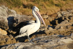 Pelican in sunset Royalty Free Stock Image