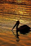 Pelican at sunset. There are seven species of pelicans in the world, all of which are similar in shape and, with one exception, are primarily white in colour Royalty Free Stock Photo
