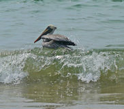 A pelican surfs by Mexican coast. A pelican floats on the breaking surf waters of the Pacific Ocean along the coast of Mexico stock images
