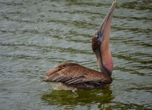Pelican Swallowing. Pelican is swallowing his lunch in Palacios, Texas royalty free stock images